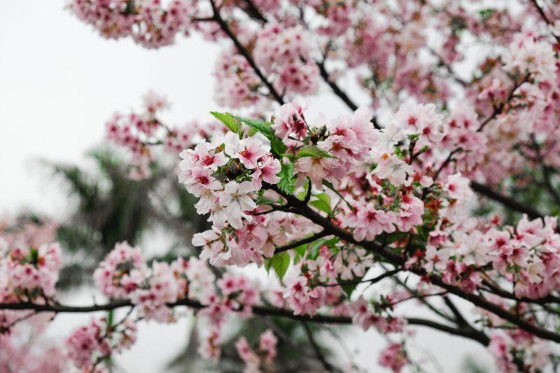 Ecole Lotus-Sacre.com fleurs de prunier au printemps roses
